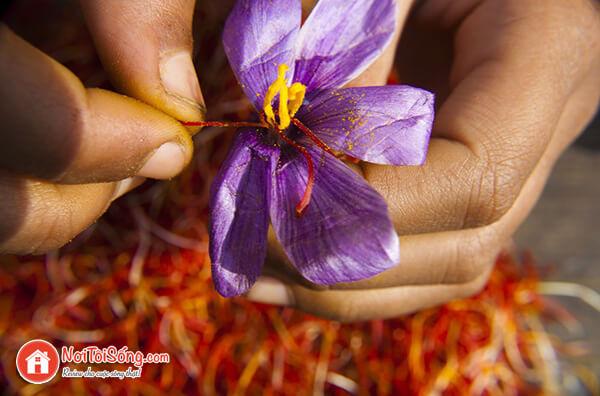 cach thu hoach nhuy hoa nghe tay