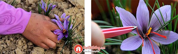 cach thu hoach saffron nhu the nao