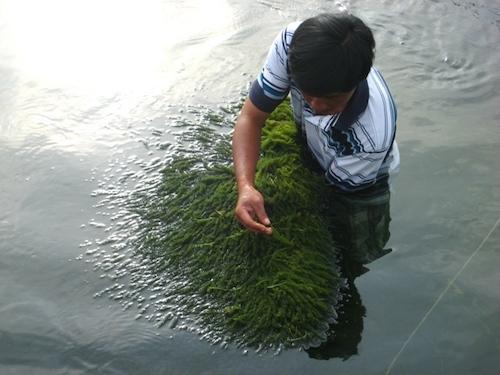 Rong nho biển tách nước: 20 câu hỏi thường gặp! 1